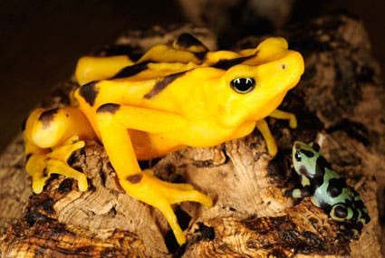 Panamanian-golden-frog-picture-11 (1)