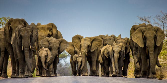 Elephant-herd-walking