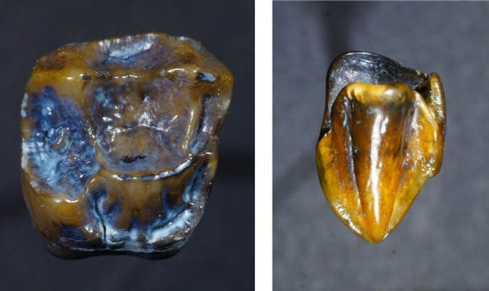 The-molar-fossil-on-the-left-and-the-canine-fossil-on-the-right
