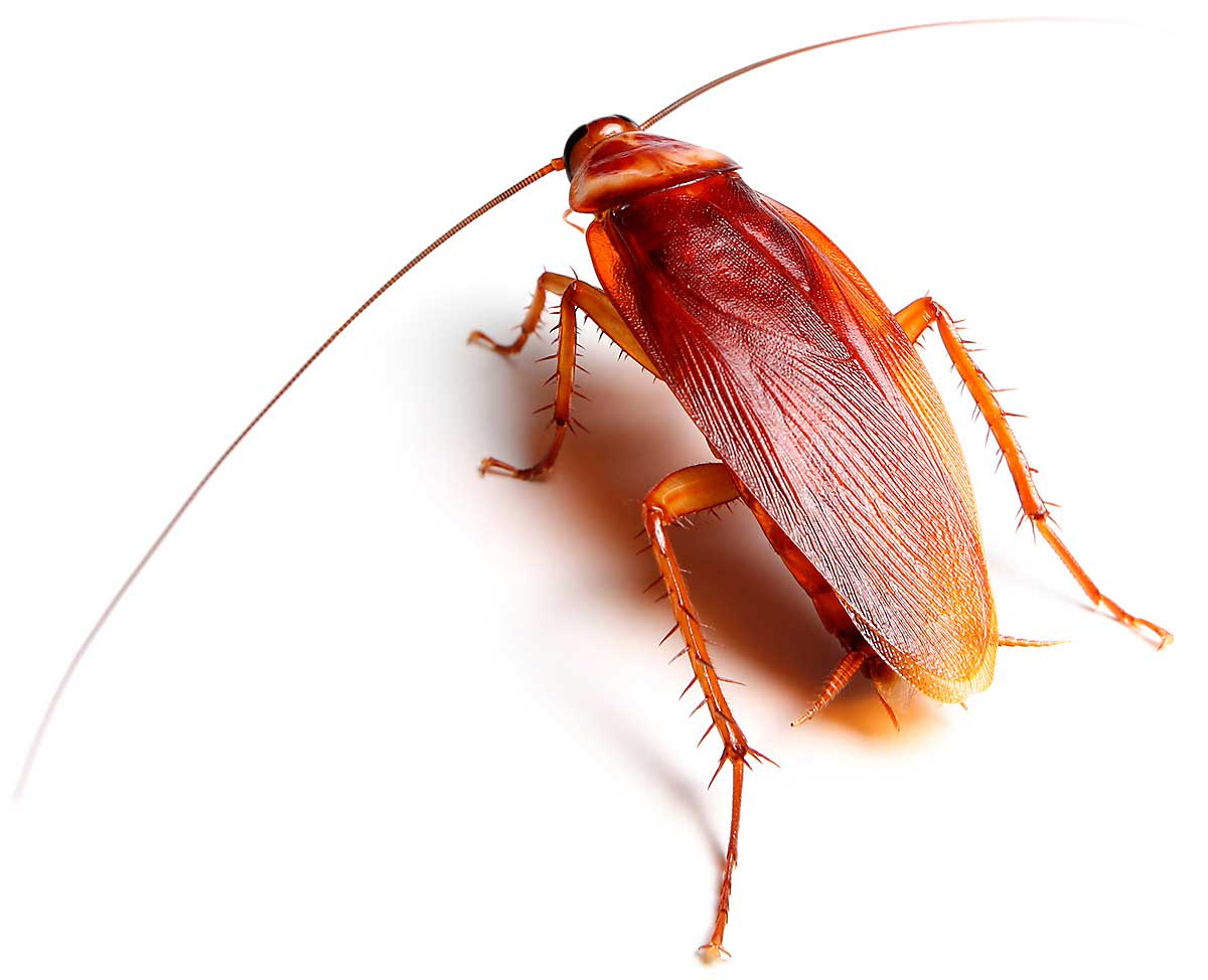 Ter-insects-american-cockroach-2