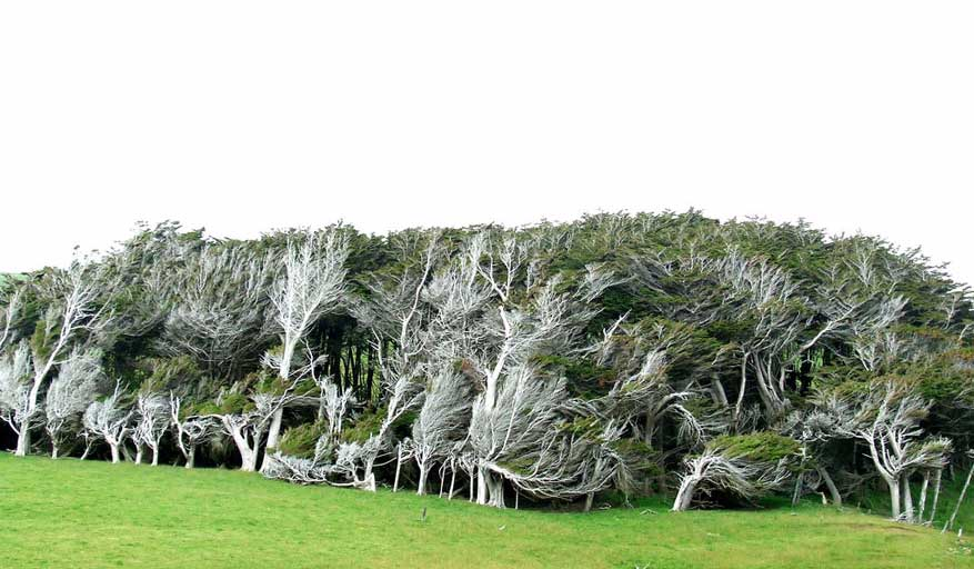 Twisted-trees-slope-point-new-zealand-south-island-8