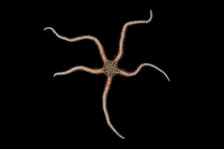Ophiuroidea, Brittle Star.